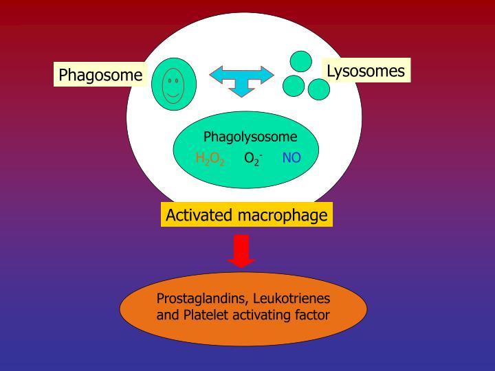 Phagolysosome