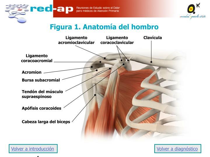 Figura 1. Anatomía del hombro