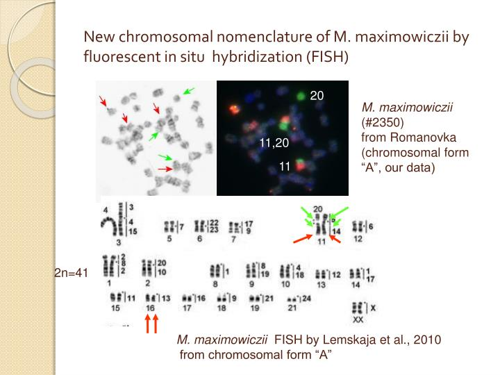 New chromosomal nomenclature of M. maximowiczii by fluorescent in situ  hybridization (FISH)