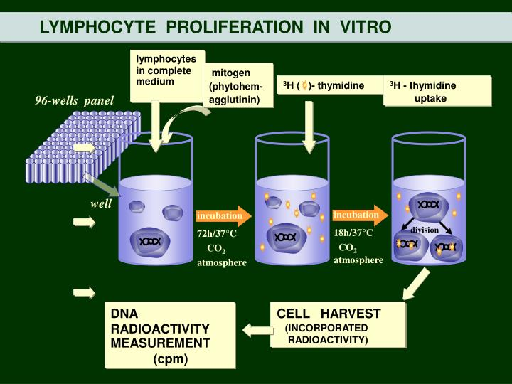 LYMPHOCYTE  PROLIFERATION  IN  VITRO