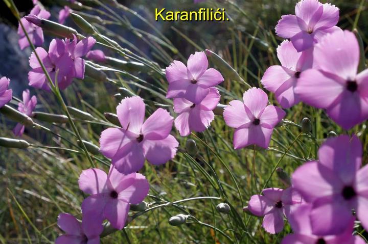 Karanfilići.