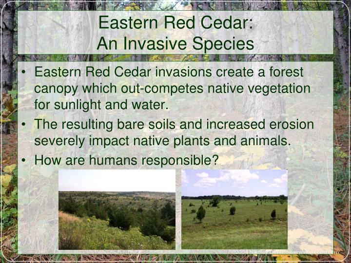 Eastern Red Cedar: