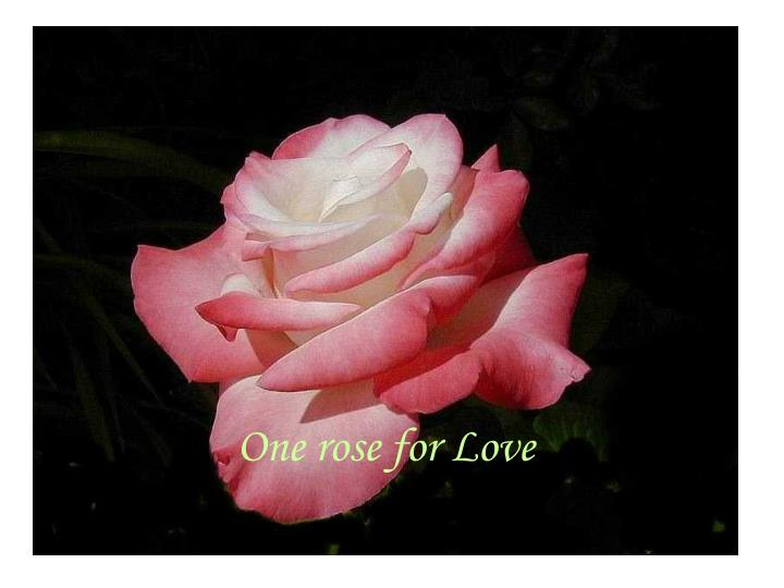 One rose for love