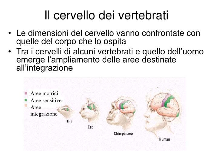 Il cervello dei vertebrati