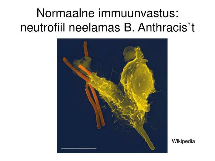 Normaalne immuunvastus: neutrofiil neelamas B. Anthracis`t