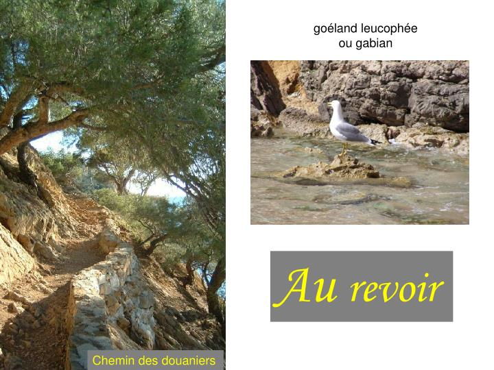 goéland leucophée