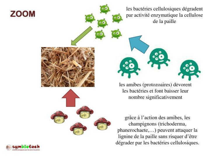 les bactéries cellulosiques dégradent par activité enzymatique la cellulose de la paille