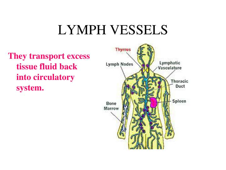 They transport excess tissue fluid back into circulatory system.