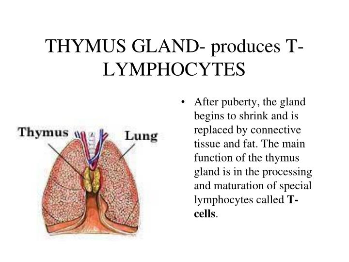 After puberty, the gland begins to shrink and is replaced by connective tissue and fat. The main function of the thymus gland is in the processing and maturation of special lymphocytes called