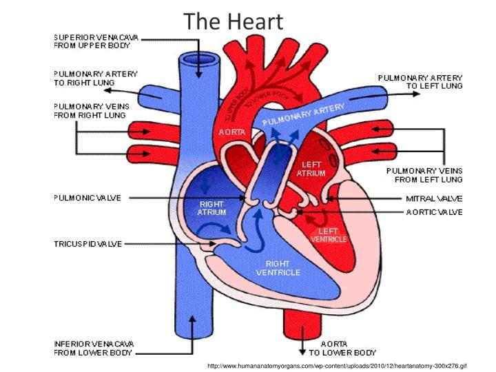 http://www.humananatomyorgans.com/wp-content/uploads/2010/12/heartanatomy-300x276.gif