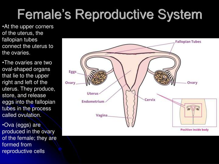 Female's Reproductive System