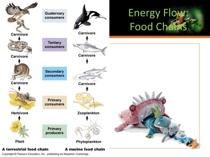 Energy Flow: Food Chains