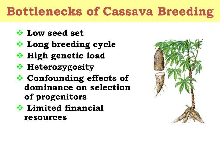 Bottlenecks of cassava breeding