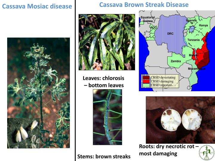 Cassava Brown Streak Disease