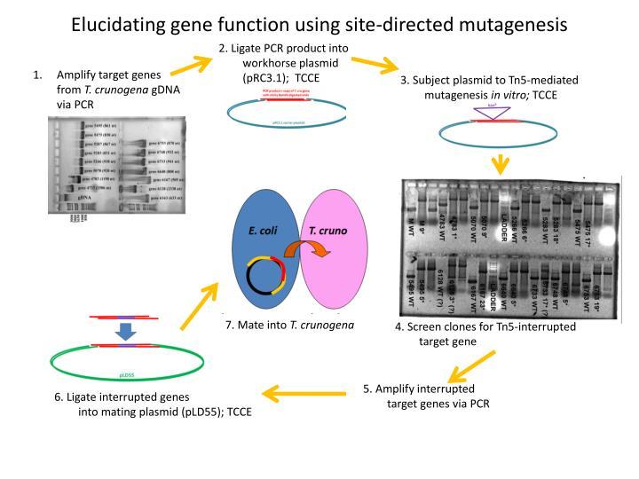 Elucidating gene function using site-directed mutagenesis