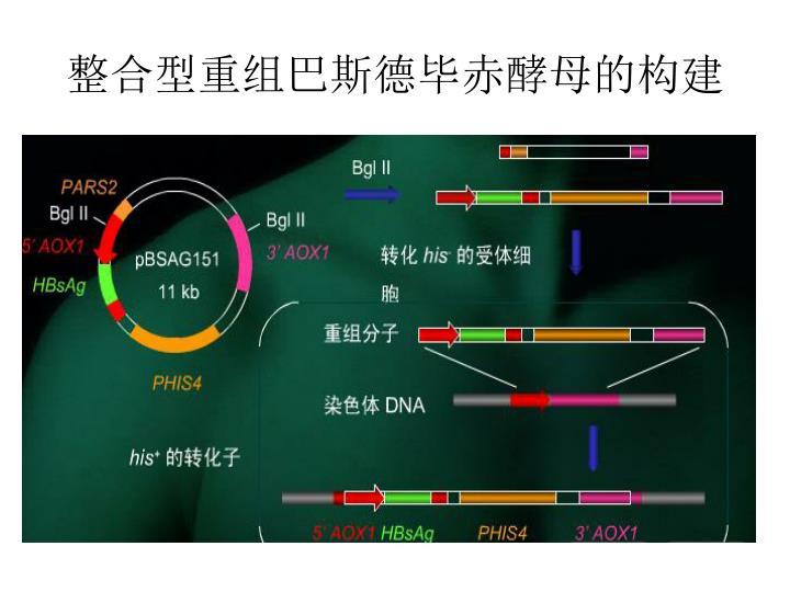 整合型重组巴斯德毕赤酵母的构建