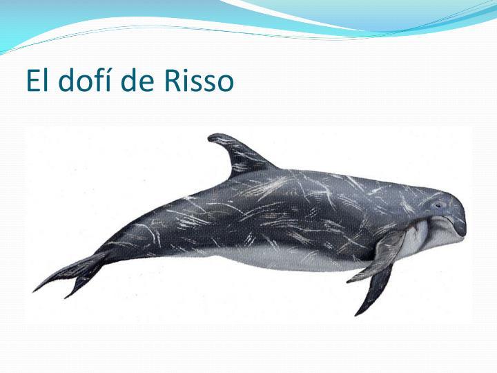 El dofí de Risso