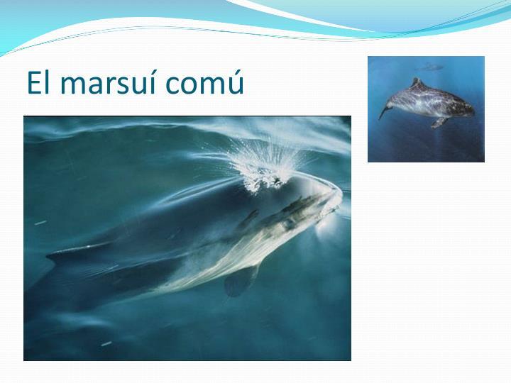 El marsuí comú