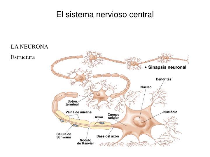 El sistema nervioso central