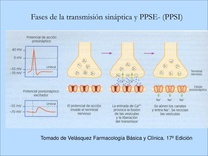 Fases de la transmisión sináptica y PPSE- (PPSI)