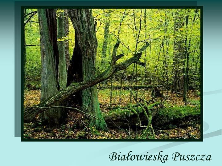 Białowieska Puszcza