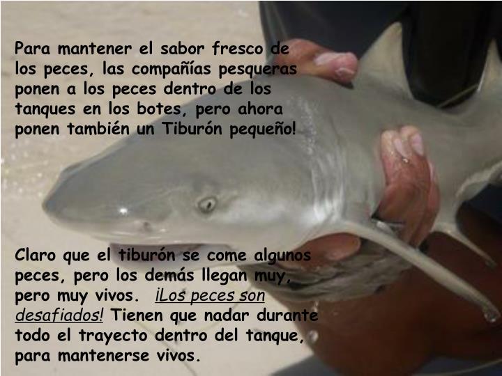 Para mantener el sabor fresco de los peces, las compañías pesqueras ponen a los peces dentro de los tanques en los botes, pero ahora ponen también un Tiburón pequeño!