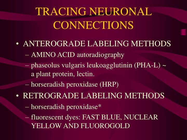 TRACING NEURONAL CONNECTIONS