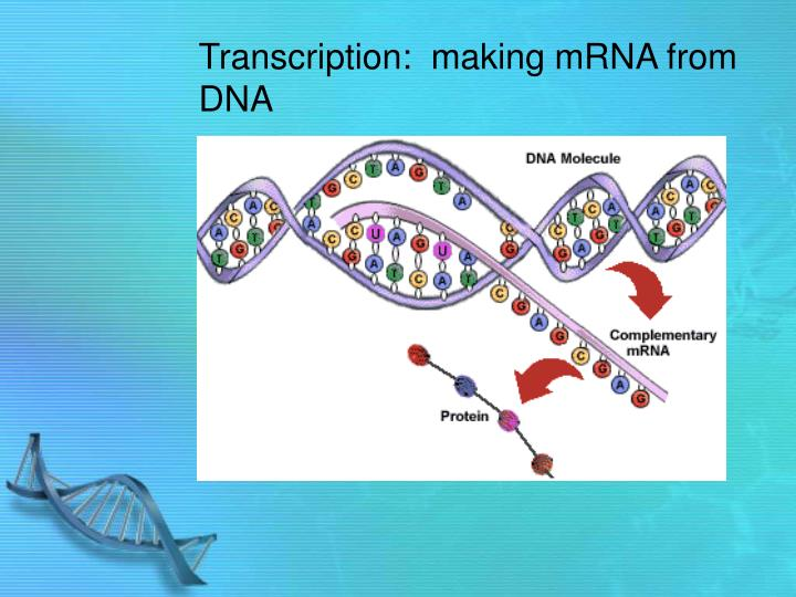 Transcription:  making mRNA from DNA