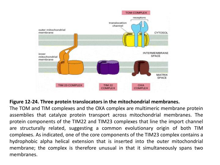 Figure 12-24. Three protein translocators in the mitochondrial membranes.
