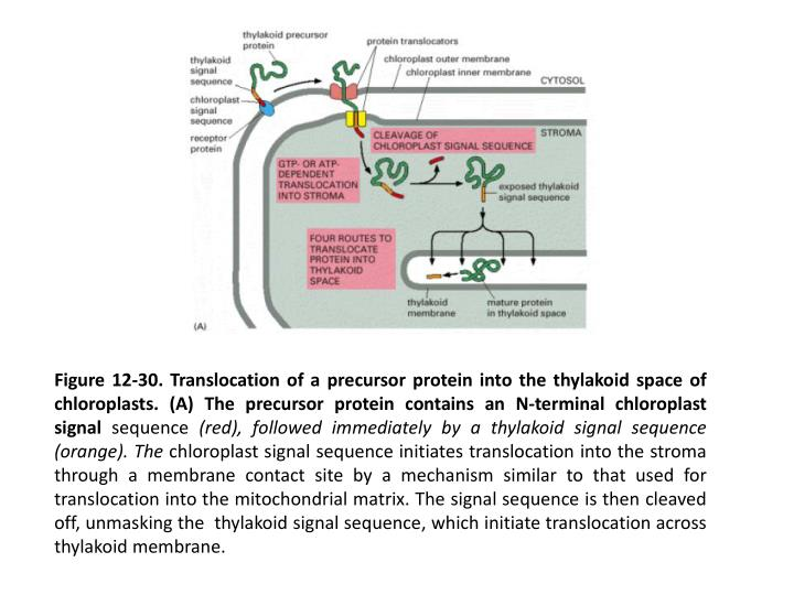 Figure 12-30. Translocation of a precursor protein into the thylakoid space of chloroplasts. (A) The precursor protein contains an N-terminal chloroplast signal