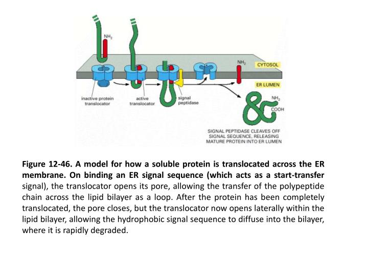 Figure 12-46. A model for how a soluble protein is translocated across the ER membrane. On binding an ER signal sequence (which acts as a start-transfer