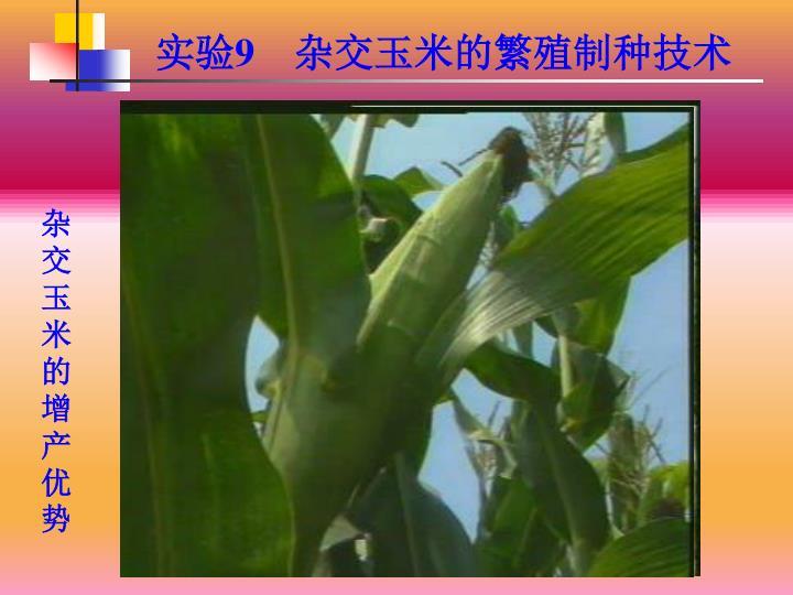 杂交玉米的增产优势