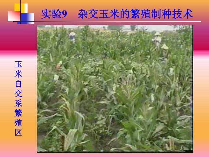 玉米自交系繁殖区