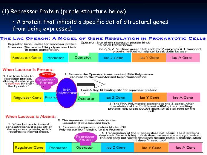 (1) Repressor Protein (purple structure below)
