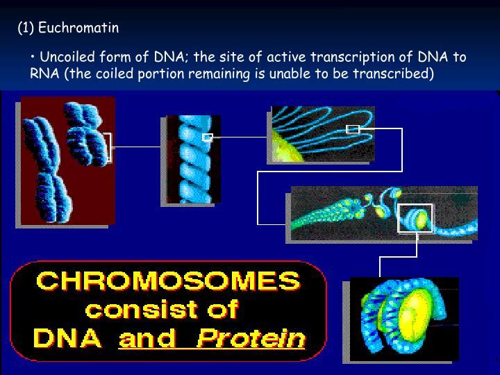 (1) Euchromatin
