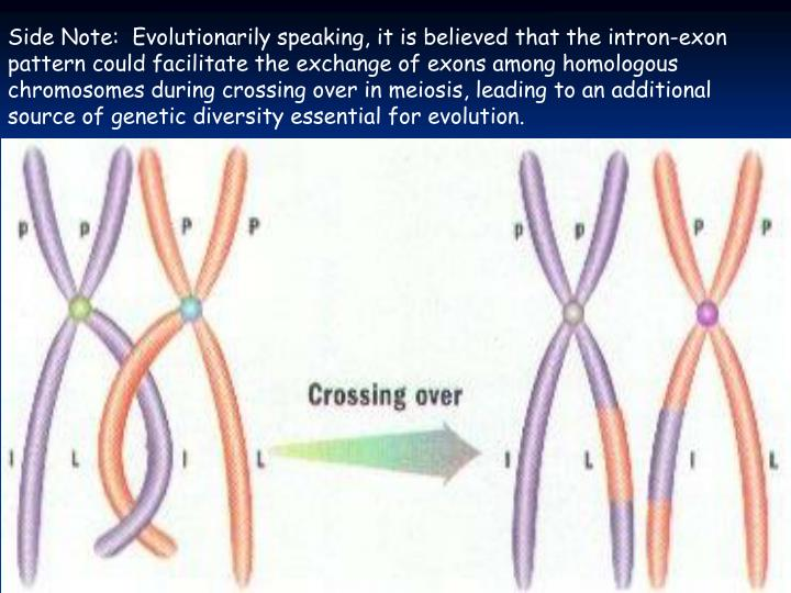 Side Note:  Evolutionarily speaking, it is believed that the intron-exon pattern could facilitate the exchange of exons among homologous chromosomes during crossing over in meiosis, leading to an additional source of genetic diversity essential for evolution.