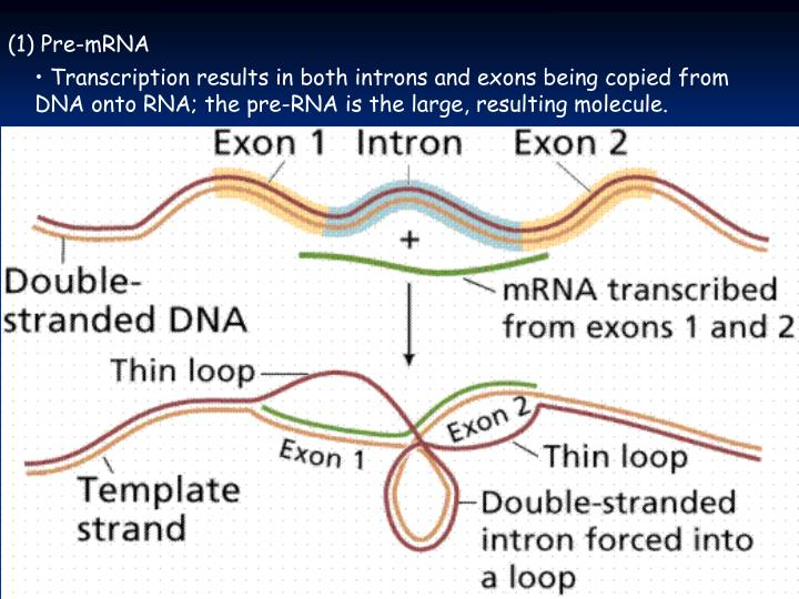 (1) Pre-mRNA