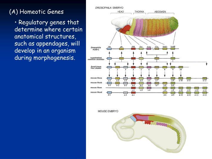 (A) Homeotic Genes