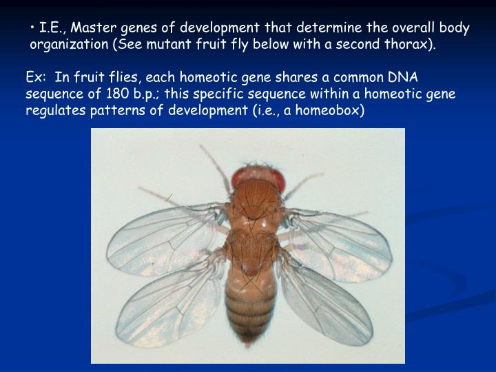 I.E., Master genes of development that determine the overall body organization (See mutant fruit fly below with a second thorax).
