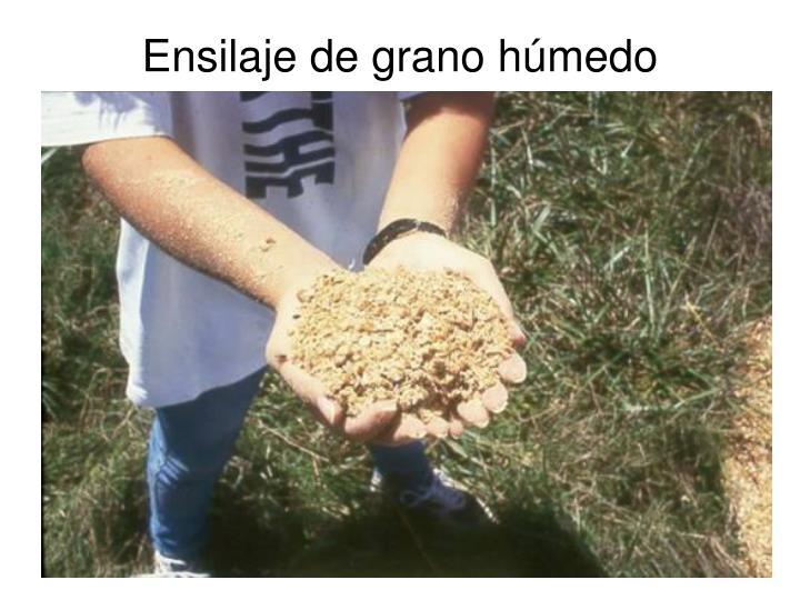 Ensilaje de grano húmedo