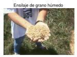ensilaje de grano h medo7