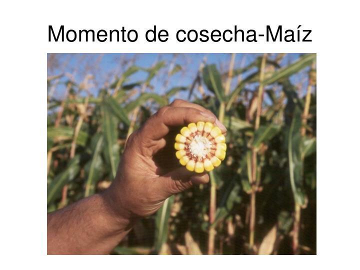 Momento de cosecha-Maíz