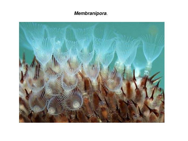 Membranipora