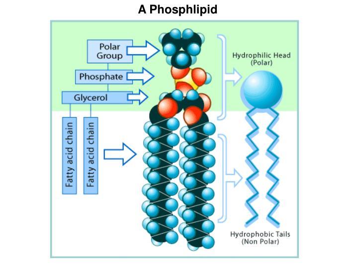 A Phosphlipid