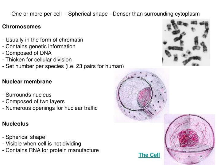 One or more per cell  - Spherical shape - Denser than surrounding cytoplasm