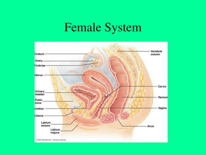 Female system