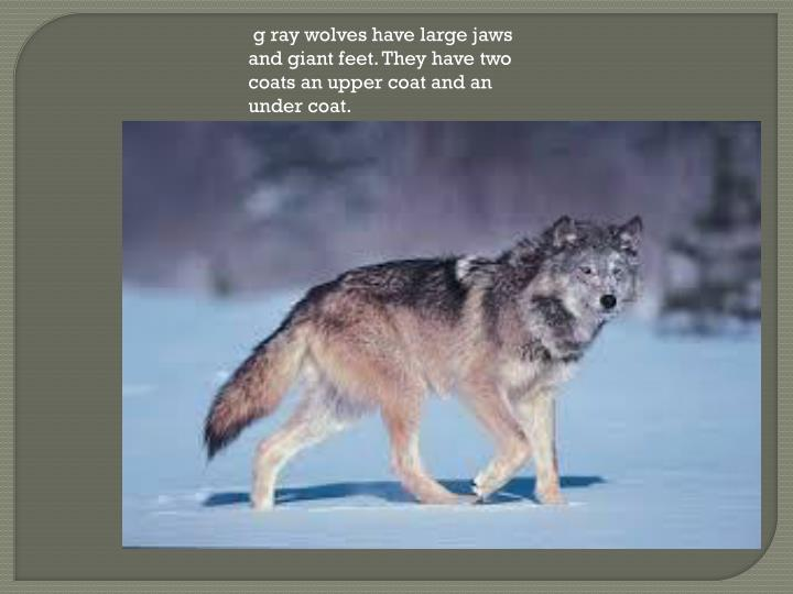 g ray wolves have large jaws and giant feet. They have two coats an upper coat and an under coat.