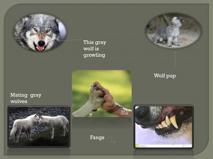 This gray wolf is growling