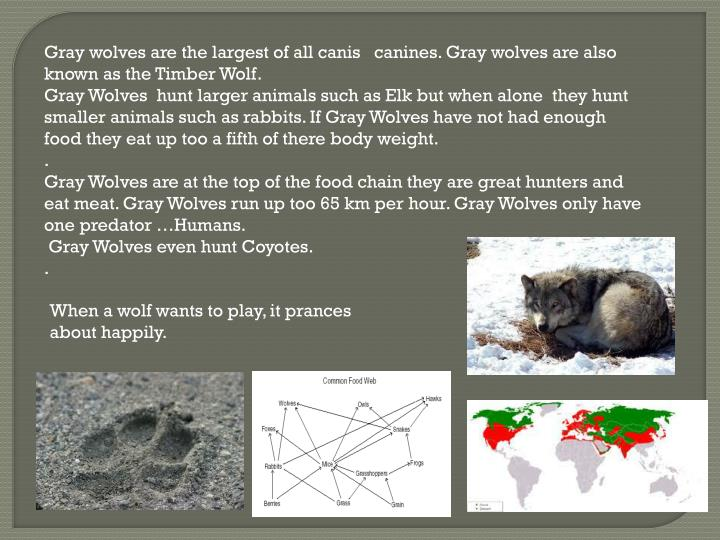 Gray wolves are the largest of all canis   canines. Gray wolves are also known as the Timber Wolf.
