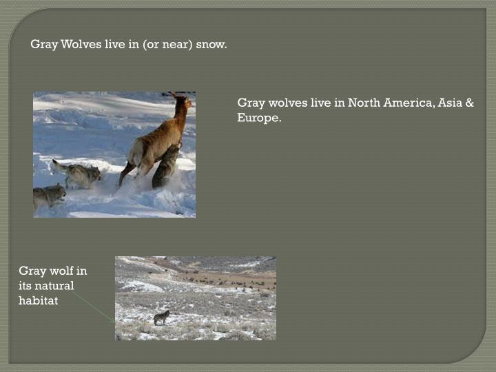 Gray Wolves live in (or near) snow.